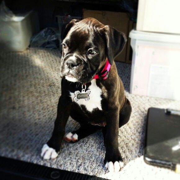 Boxer Puppie Little Elvira Boxer Puppies Boxer Dogs Boxer And Baby