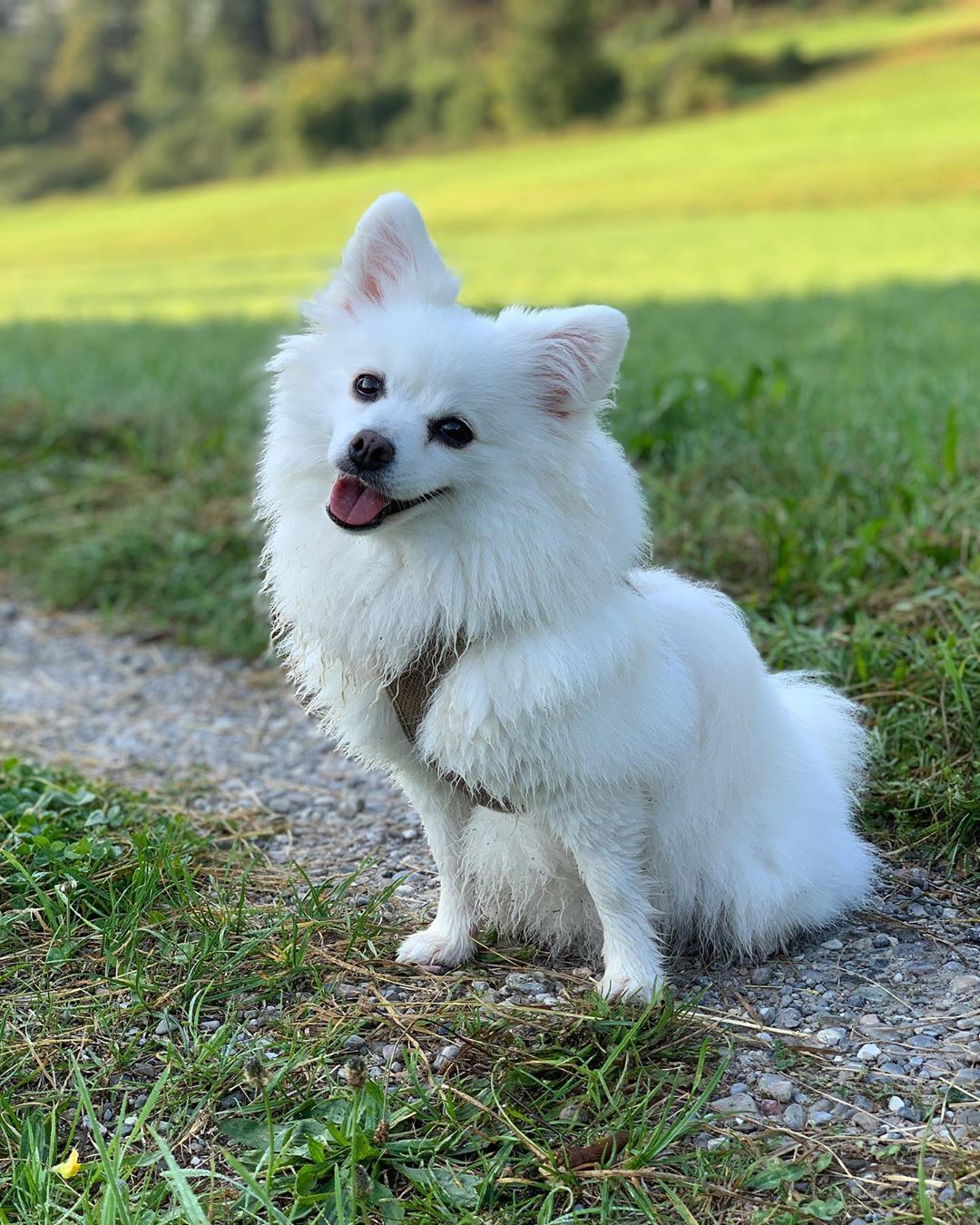 Volpino Italiano The Italian Fox Japanese spitz, Rare