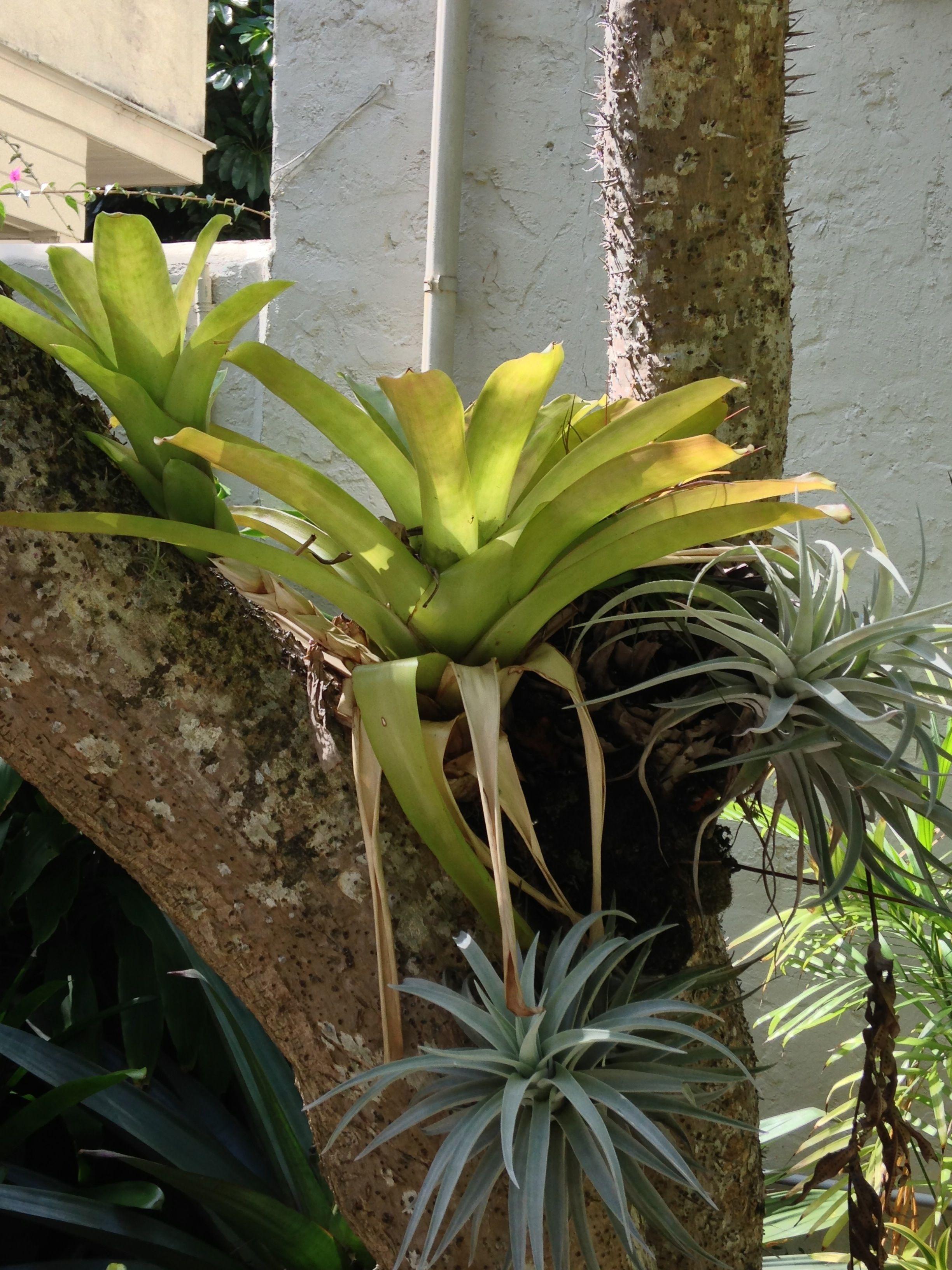 Bromeliad Growing In Tree