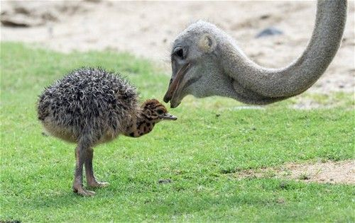 Cute ostrich mother and baby<3