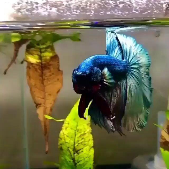 Betta Lovers Indonesia On Instagram Halfmoon Copper Kenapa Lebih Banyak Pecinta Plakat Ya Happybettasfrown Follow Di 2021 Betta Ikan Cupang Ikan Betta fish wallpaper gif betta gif id