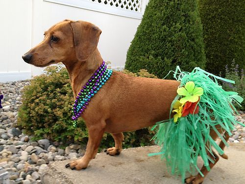 Luau Dog Costumes Dog Costumes Dachshund Small Dog Luau Grass