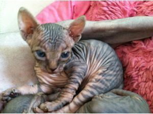 Tabby Sphynx Ch Munchkin For Stud Hairless Cat Cat Breeds Cute Cats