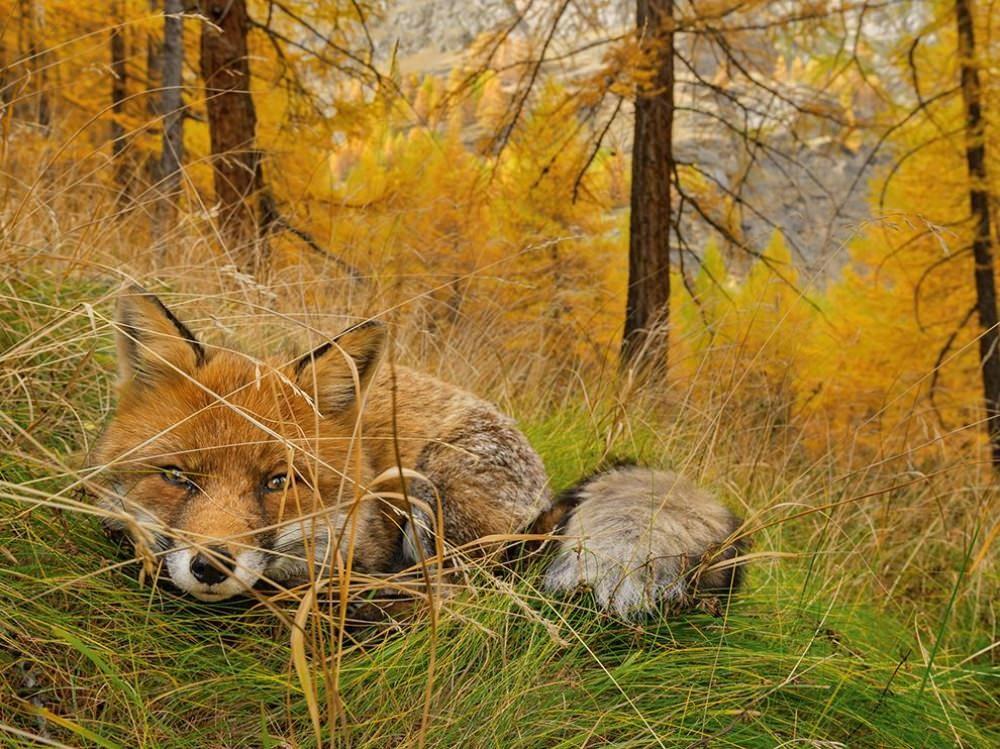 Kızıl Tilki - İtalya