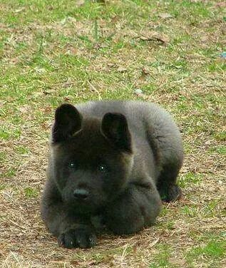 All Black Akita Akita Puppies Akita Dog Dogs