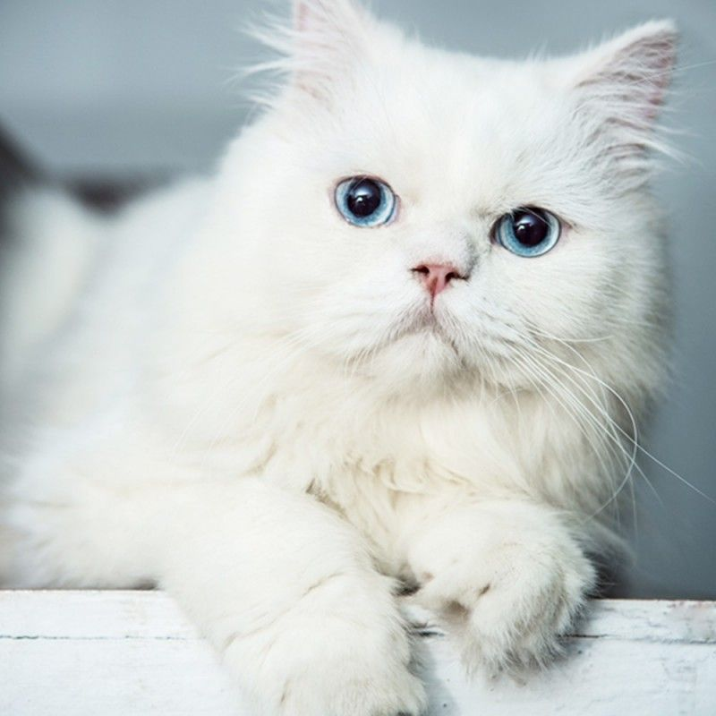 Persian Kitten Blue Eyes For Sale With Best Price In India Persian Kittens Persian Cat White Cat With Blue Eyes