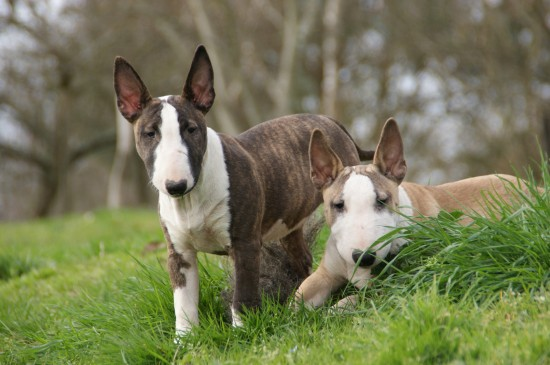 Vulnerable Uk Native Dog Breeds The Terrier Group Dog Breeds Pitbull Dog Breed Wire Fox Terrier