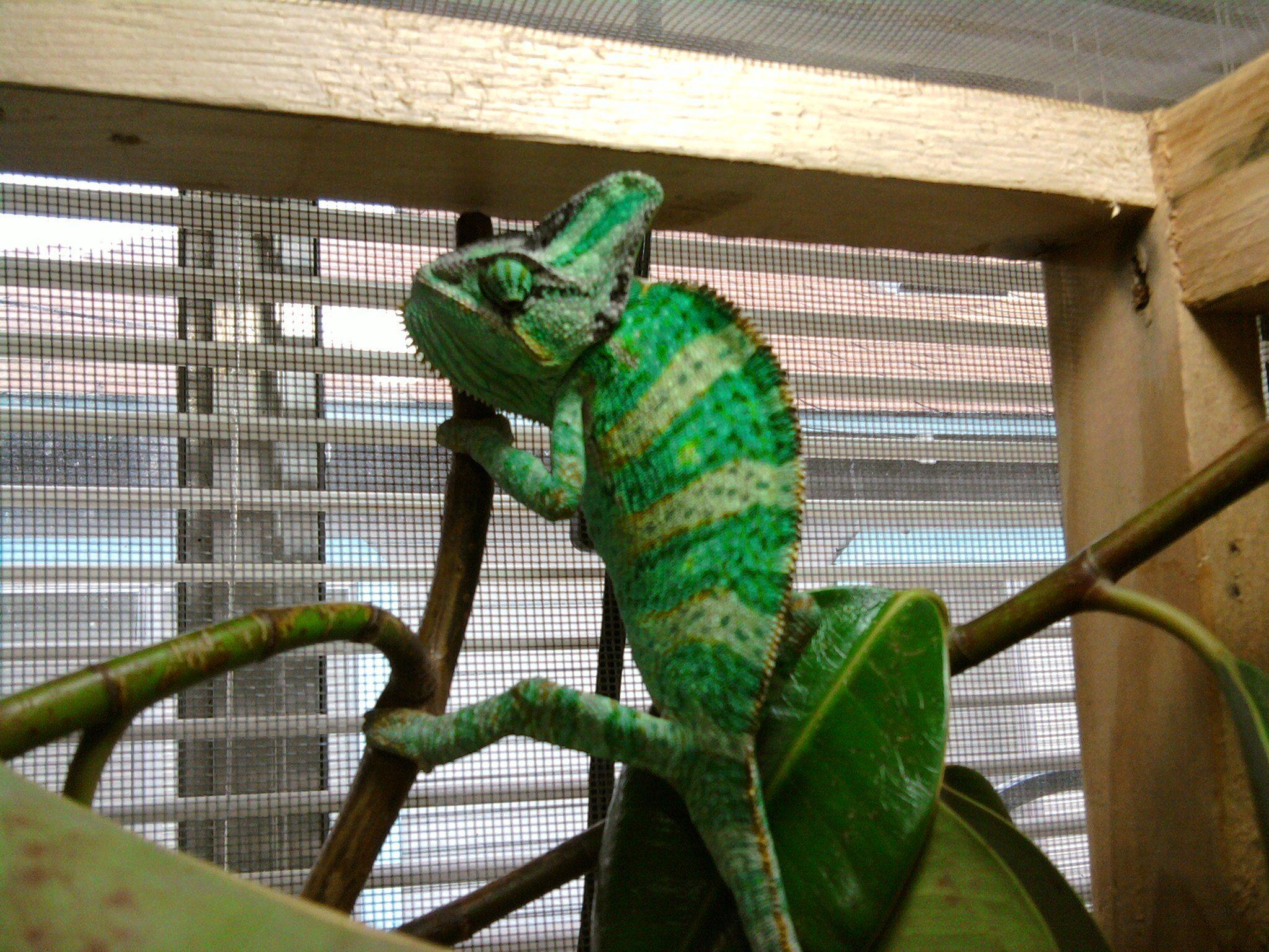 25 amazing chameleon pictures - My Pet Veiled Chameleon