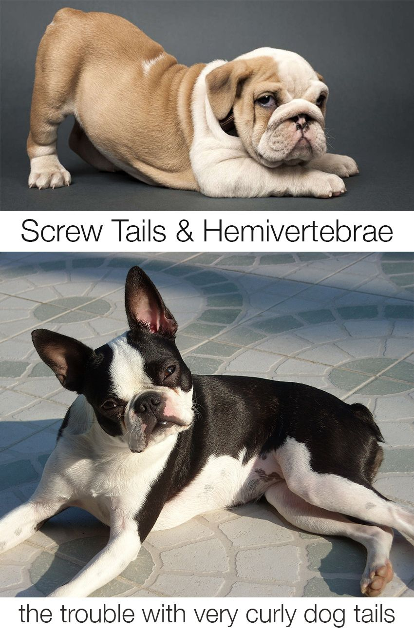 Puppy Health Screw Tails And Hemivertebrae Sick Dog Dogs Puppies