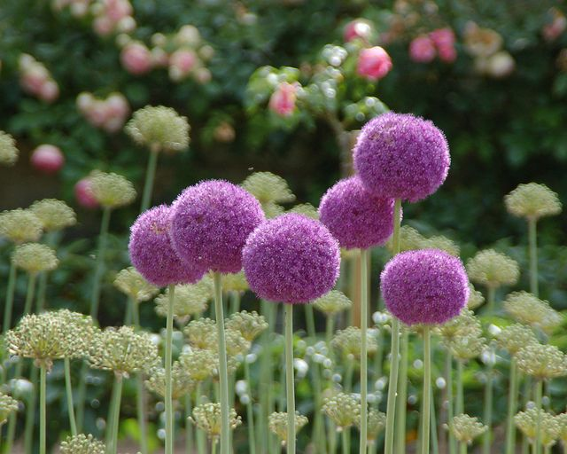 Alliums And Pale Green Spiky Plants Plants Flowers Nature Landscaping Inspiration