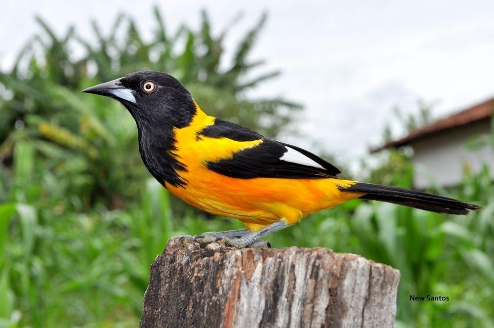 Suficiente Corrupião | Pássaros | Pinterest | Passaros brasileiros, Animais e  DW35