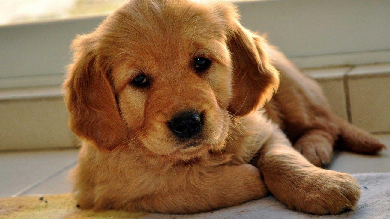 Red Golden Retriever Puppies