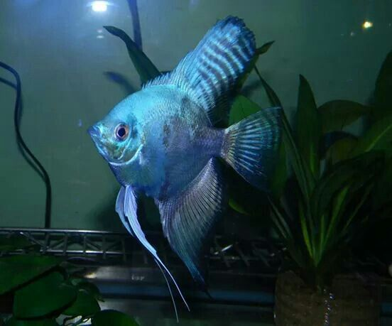 Pin On Angelfish And Discus