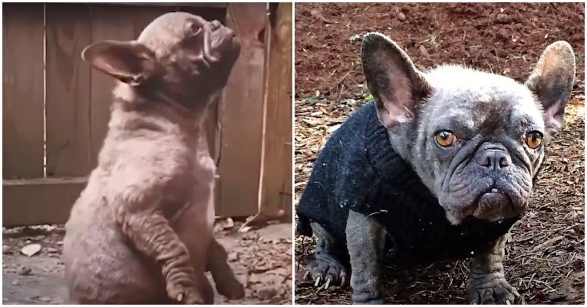 This Frenchie Spent A Year Living In A Hole Her Saviors Gave Her