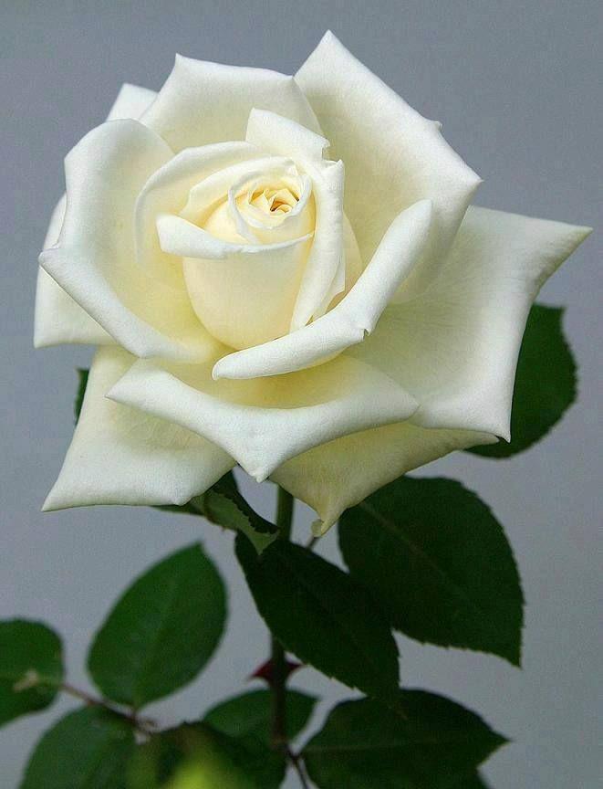 Chame Leon On Twitter Rose Flower White Roses Beautiful Roses