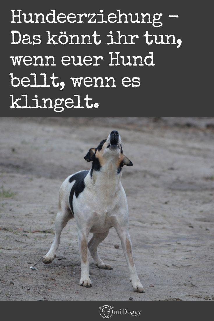Hilfe Mein Hund Bellt Wenn Es Klingelt Midoggy Community Hund Bellt Welpen Hunde Erziehen