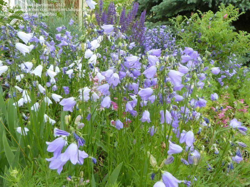 Photo of Scottish Harebell, Bluebells of Scotland