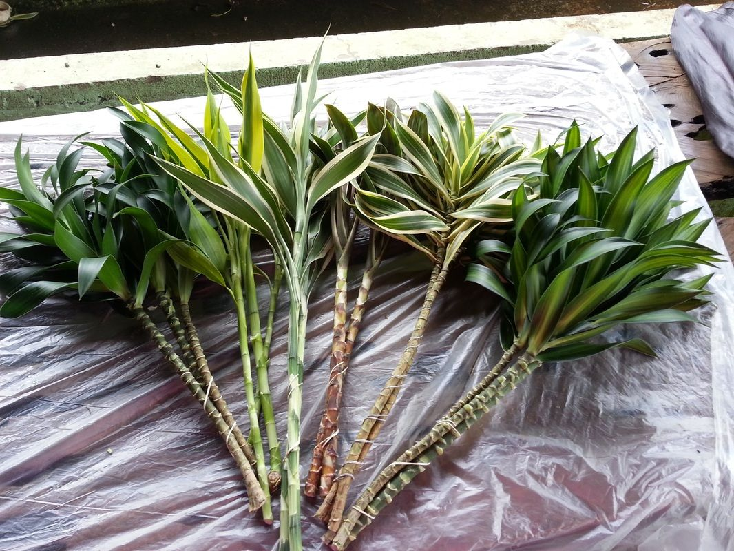 Variegated Dracaena Song of India & Jamaica House