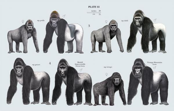 poster family hominidae great apes ape primates animals
