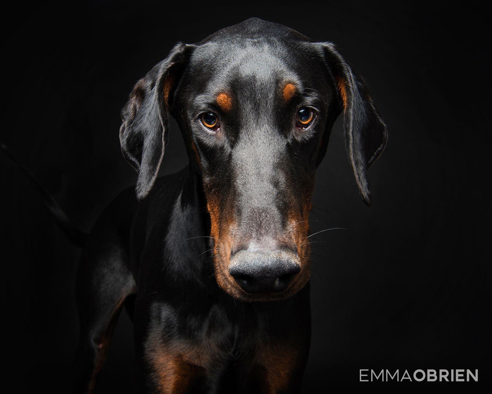 Doberman Dog Studio Portraits Pretoria South Africa