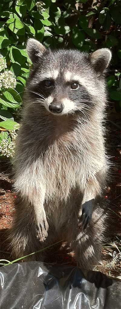 Home Remedies to get rid of Raccoons in your Yard ...