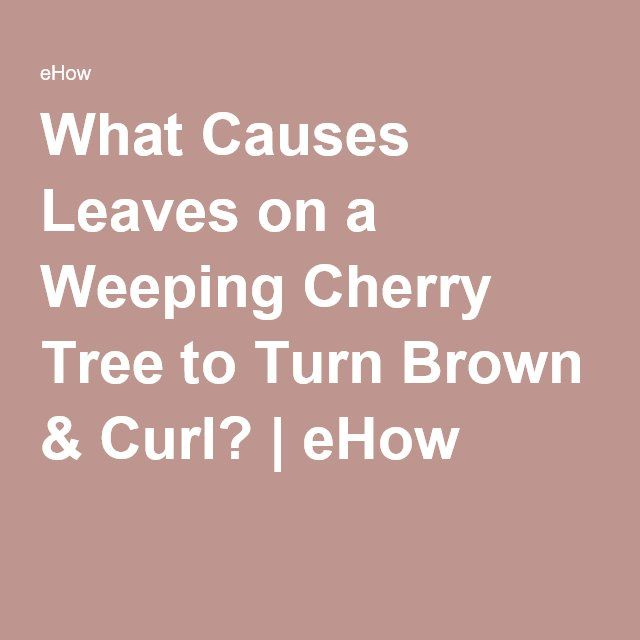 What Causes Leaves On A Weeping Cherry Tree To Turn Brown Curl Ehow Com Weeping Cherry Tree Cherry Tree Brown Curls