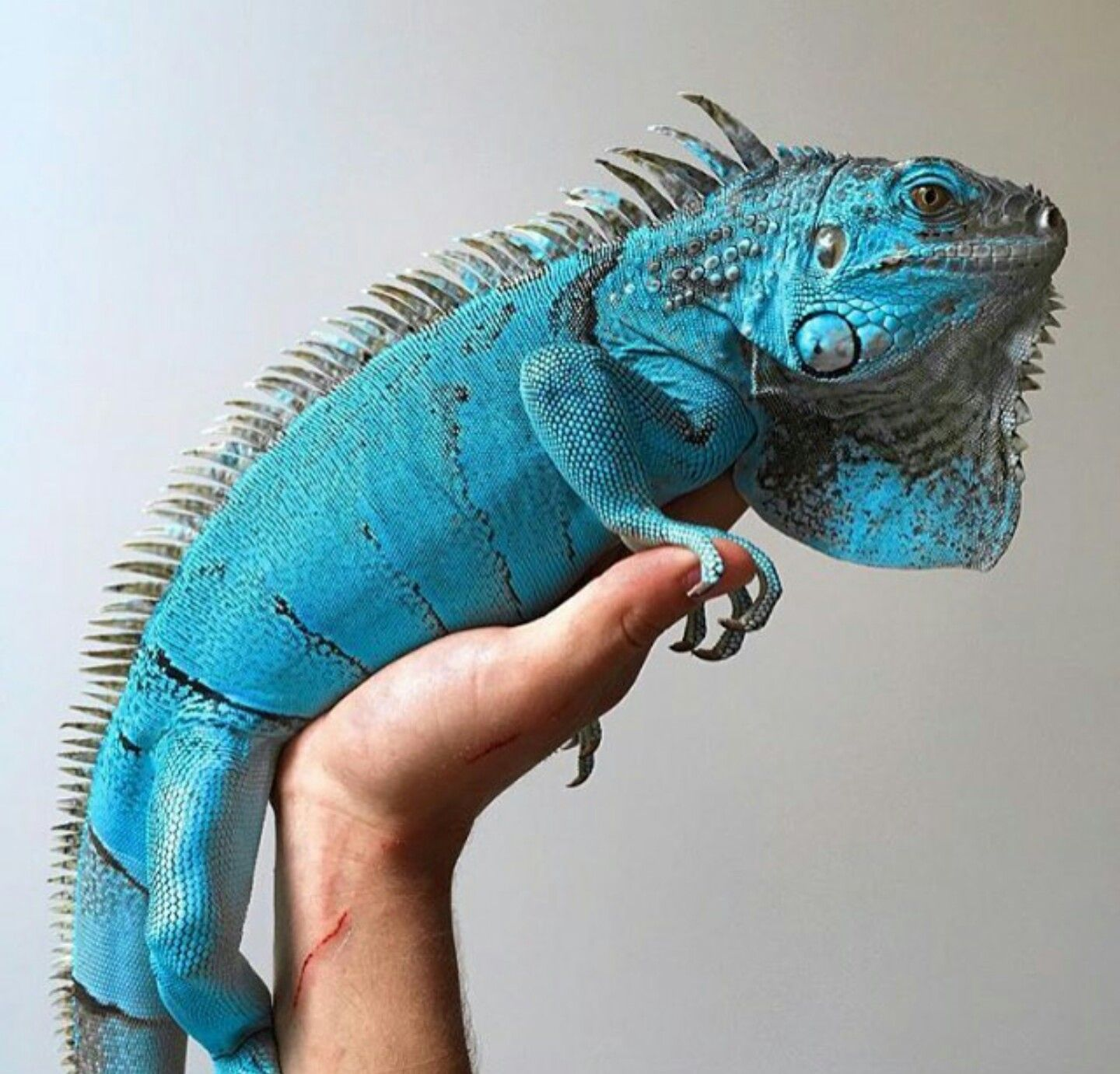 Blue Iguana | LMAO Zoo Animals | Pinterest | Reptiles ...