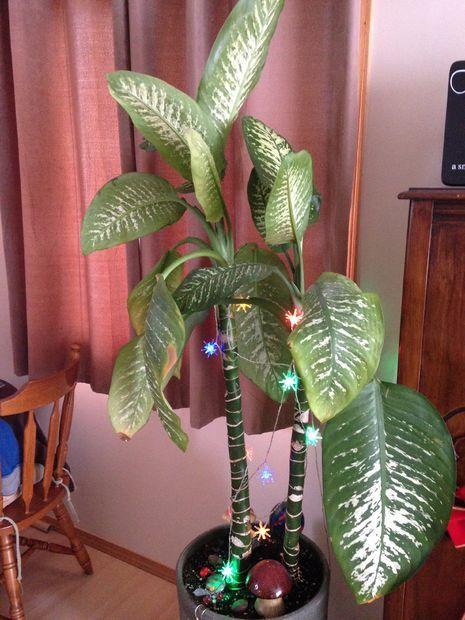Piante Da Appartamento Dieffenbachia Amoena.Shortening And Propagating A Huge Dieffenbachia Amoena Plant