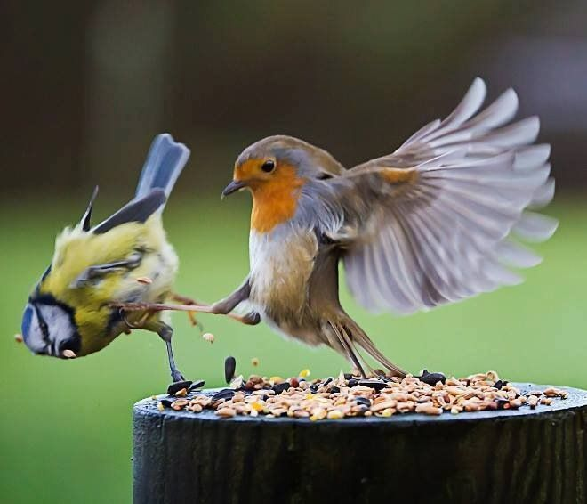 Birds fight club