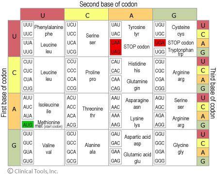 Amino Acid Codon Table TCoo DNA Magazine Pinterest - amino acid chart
