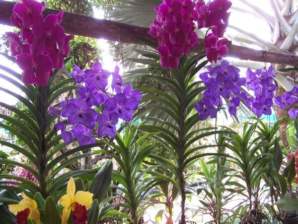 Orchids Asia Orchids Collectibles Plants Vanilla Spices Resource Orchid Plants For Sale Vanda Orchids Orchid Plants