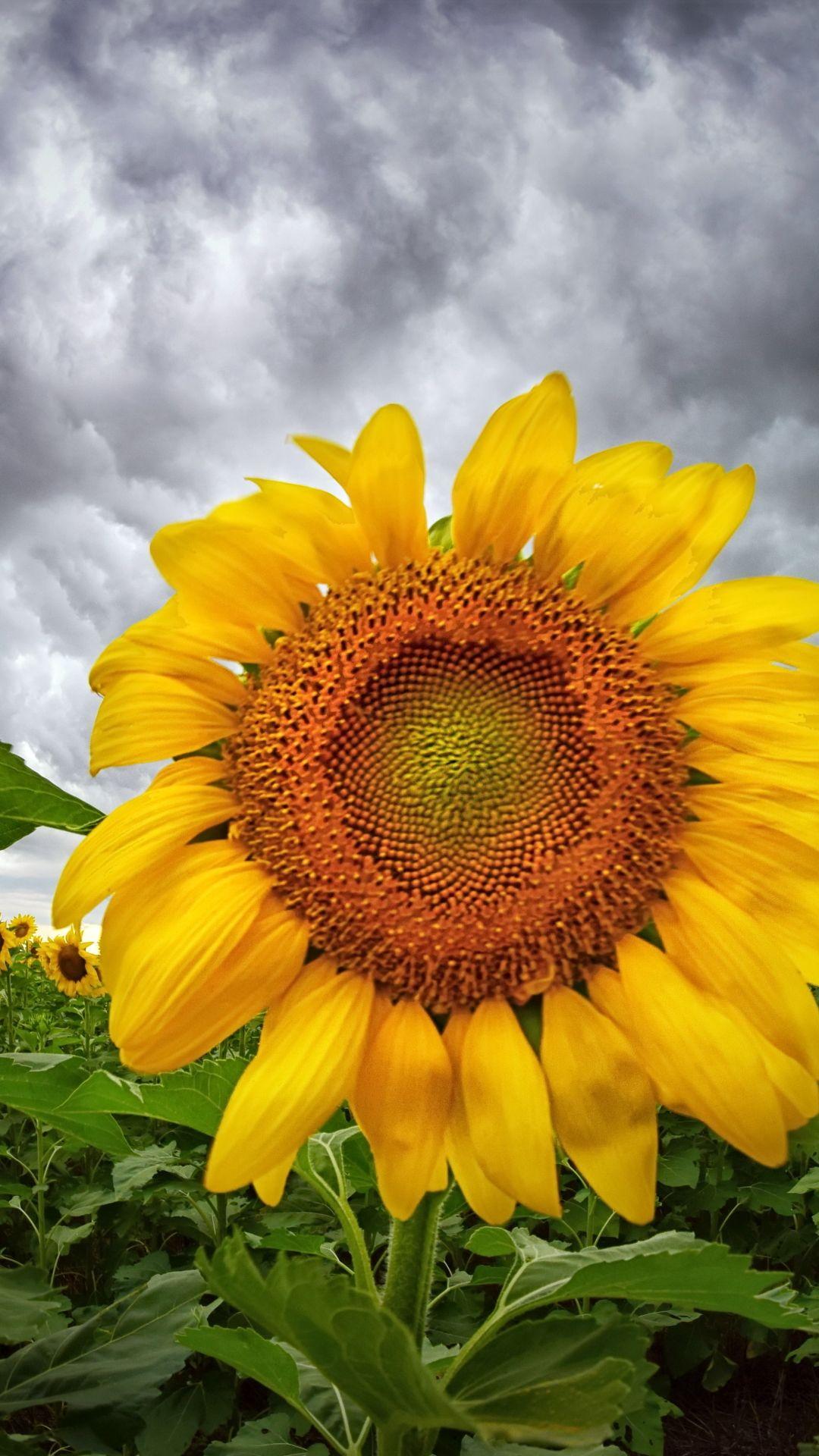 Earth sunflower flowers flower nature yellow flower
