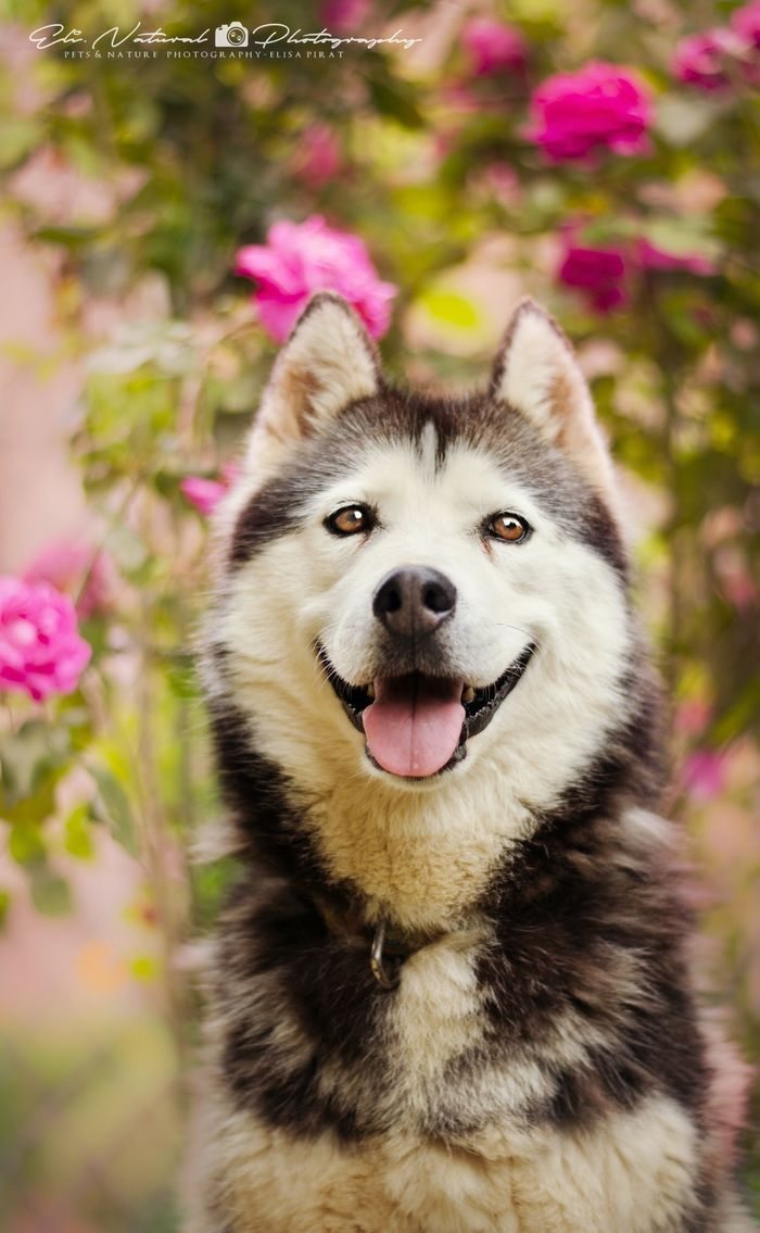 Hello Chinook  Create your album on Yummypets.Com and we will share your photos ... #cute #dog #animal #pet #husky #socialnetwork