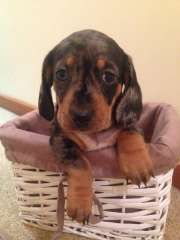 Purebred Silver Dapple Mini Dachshund Smooth Coat Puppies For