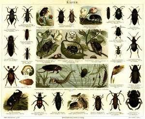 k fer insekt die k fer sind mit ber beschriebenen arten in 179 familien die weltweit. Black Bedroom Furniture Sets. Home Design Ideas