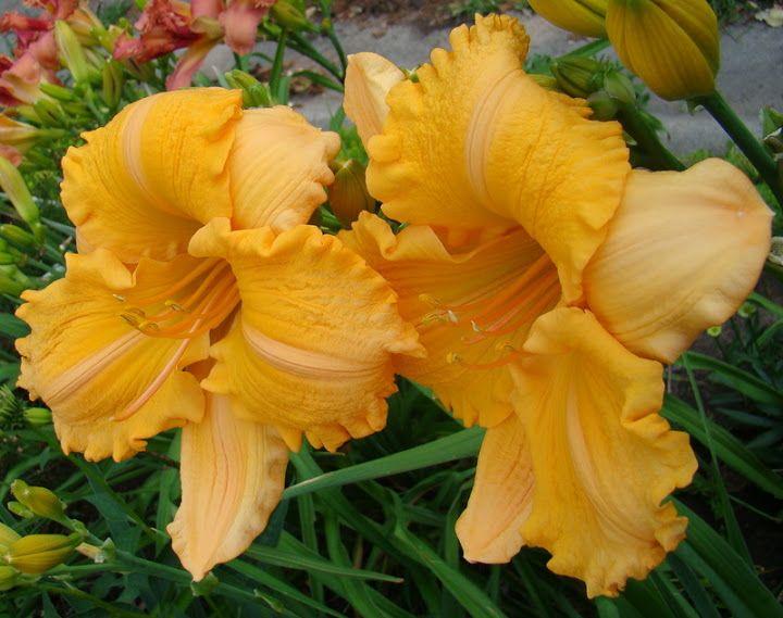 Orange Velvet daylily