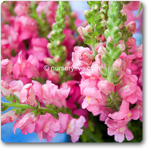 Antirrhinum Snapdragons Pink Nursery Plants Online In Pune Pimpri Chinchwad Mumbai Delhi Banglore Noida Chennai Indore Hyderabad Nasik Baroda