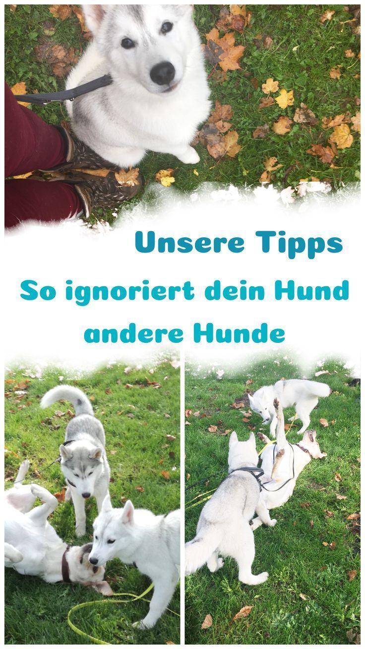 Wie lernt mein Hund andere Hunde zu ignorieren? – Mit Leine