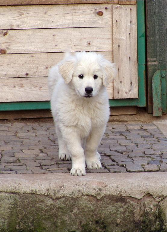 Slovensky Cuvac Pup Livestock Guardian Dog Cute Animals Dogs