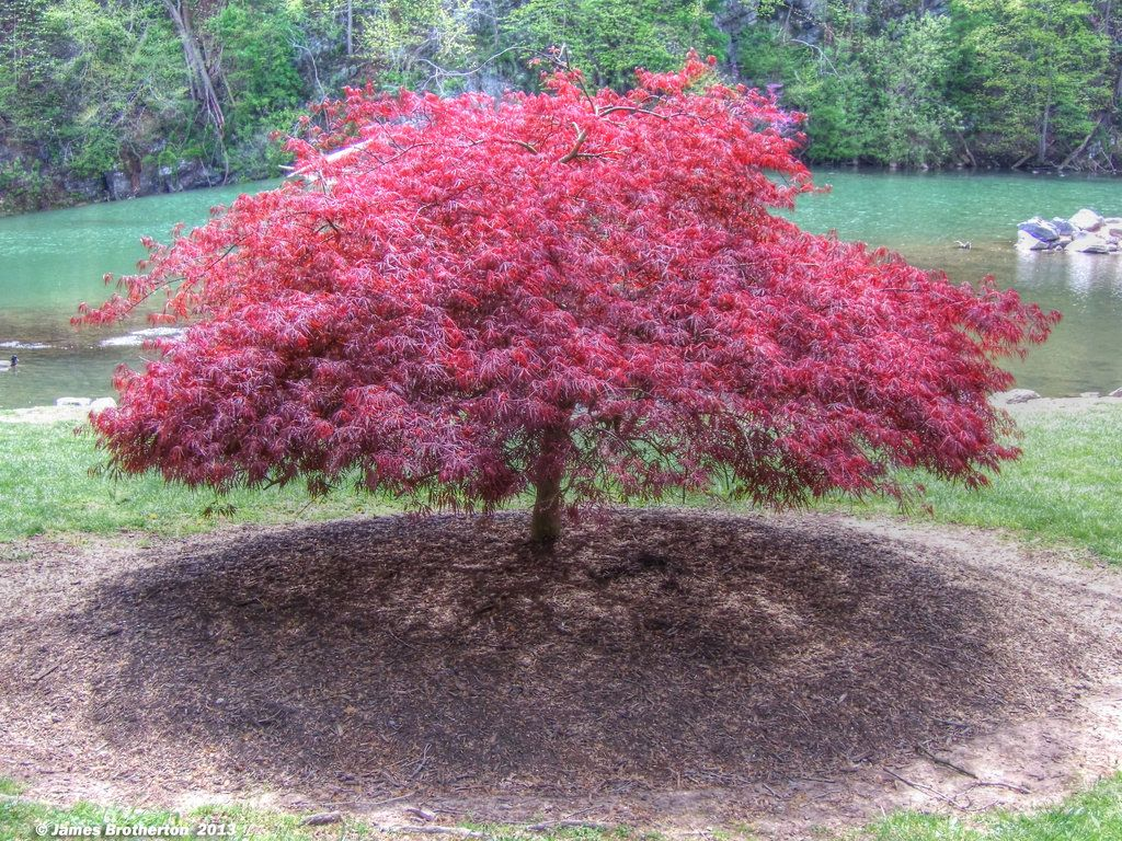 Black japanese maple red laceleaf japanese maple by for Garden trees types