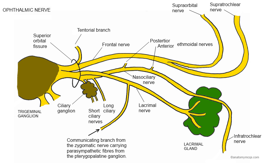Ophthalmic Branch Of The Trigeminal Nerve