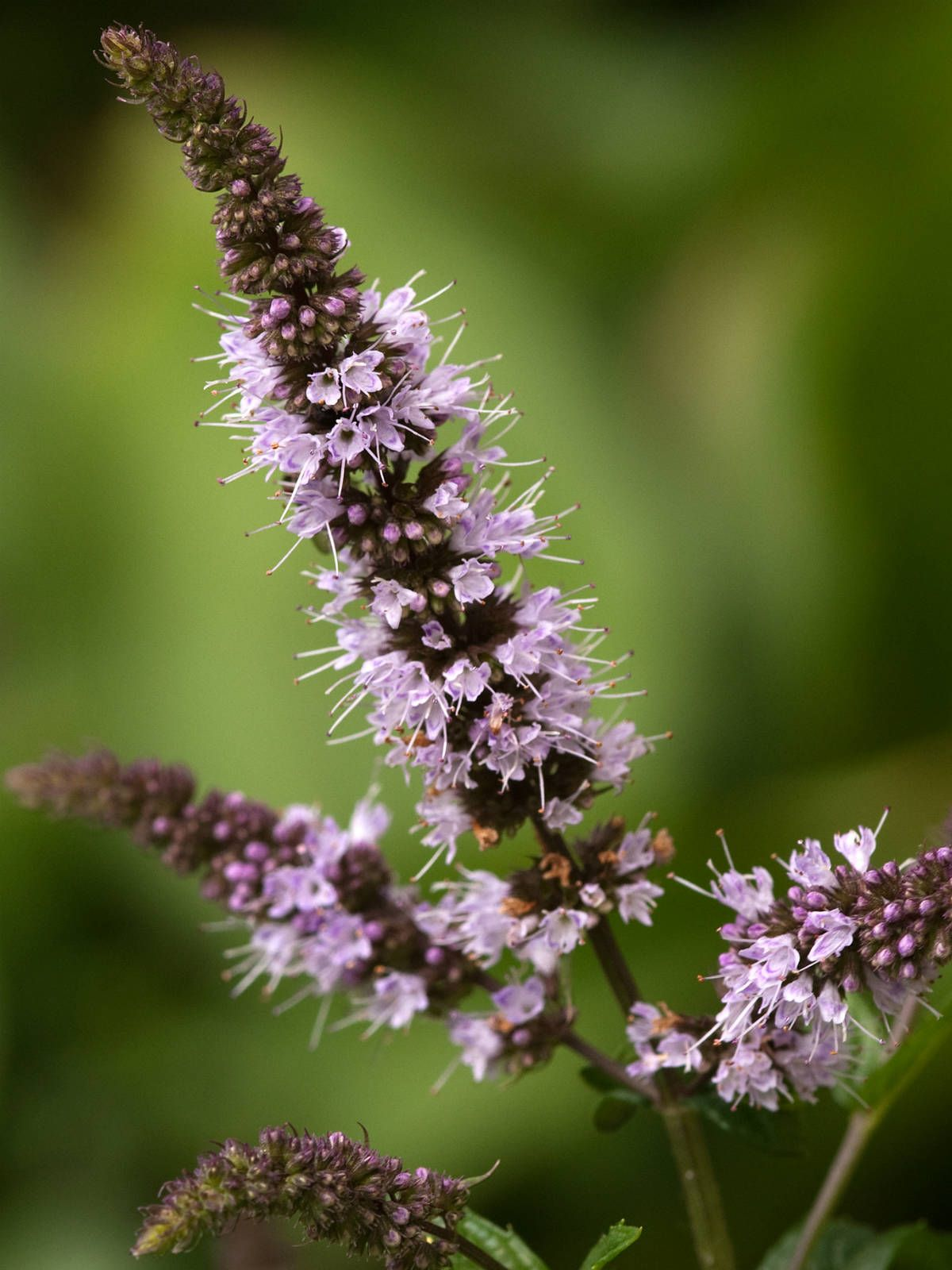 Mentha x piperita (Peppermint)   Pepermint plant, Plants ...