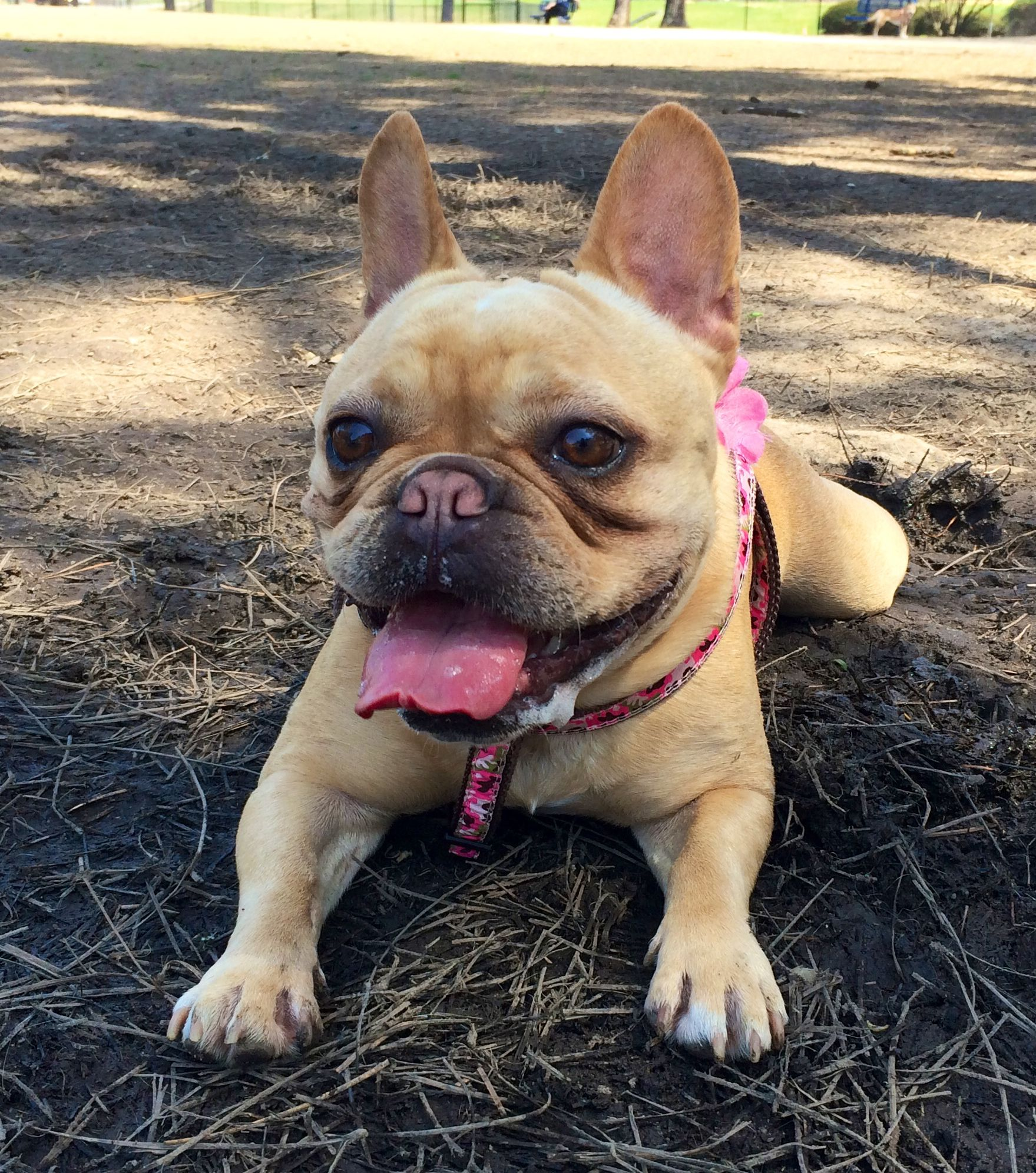 Fancy had a great day at the park! French bulldog, Cute