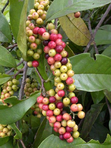 Bignay Or Currant Tree Antidesma Bunius Is An Edible Fruit Tree Native To The Philippines Fruit Plants Fruit Flowers Tropical Fruits