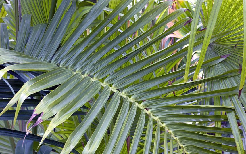Flaschenpalme Zimmerpflanze Mit Bauch Pflanzenblatter Pflanzen Palmen