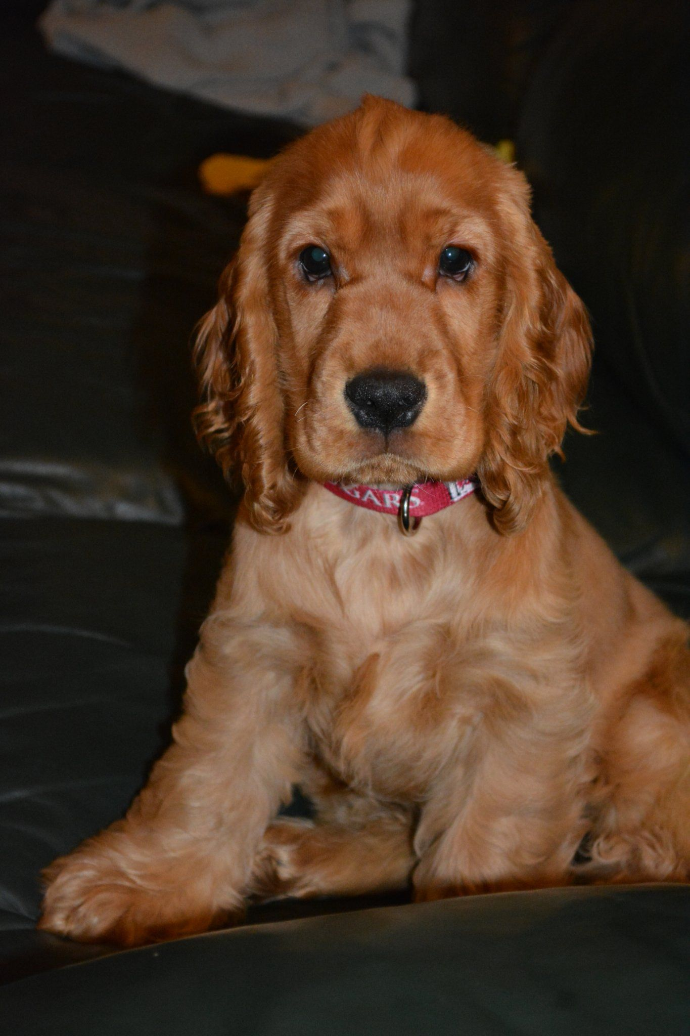 English Cocker Spaniel With Images Spaniel Puppies Cocker Spaniel Puppies Cocker Spaniel