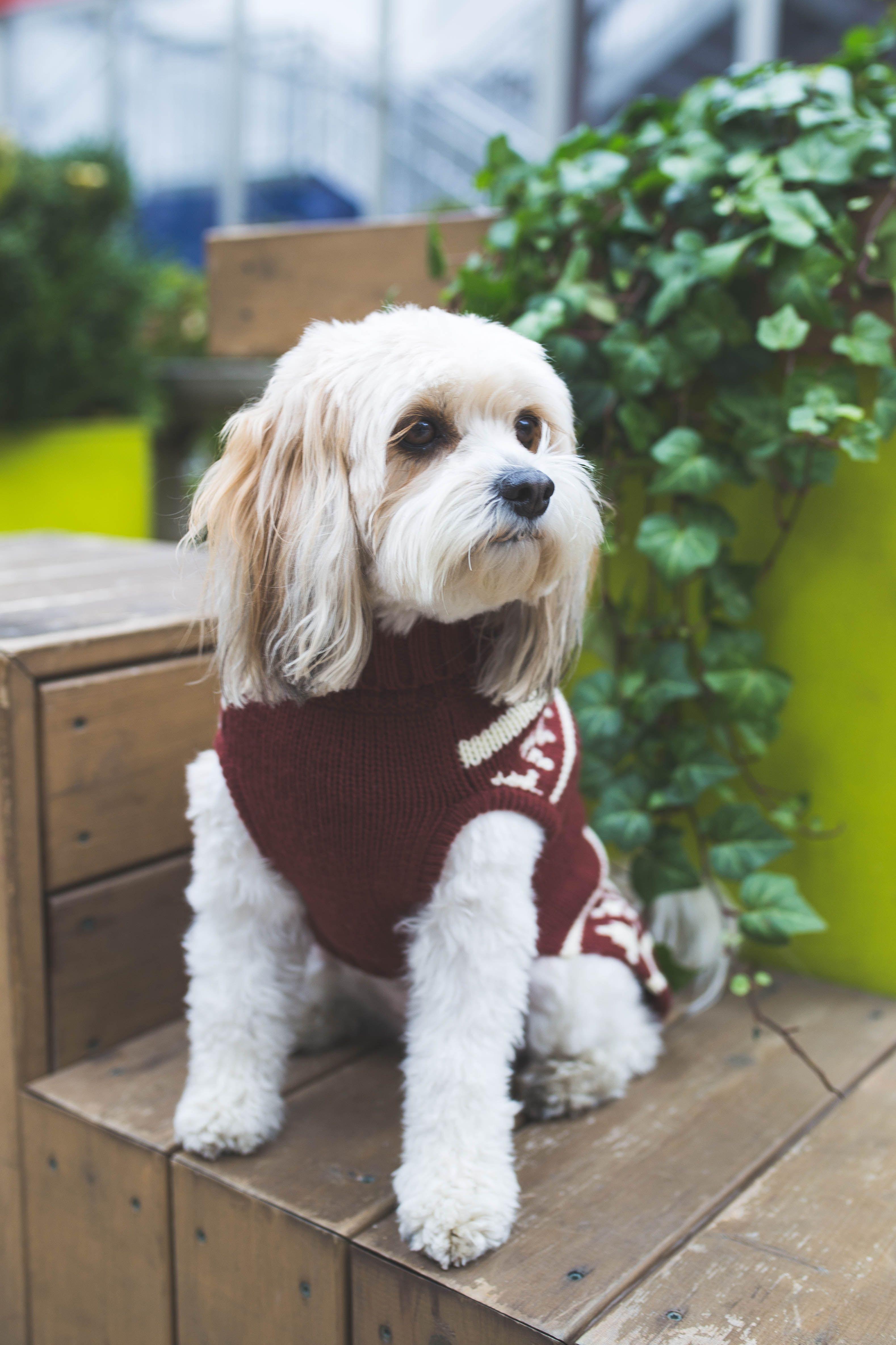 Winter Accessories Styled Snapshots Cavachon Cavachon Dog