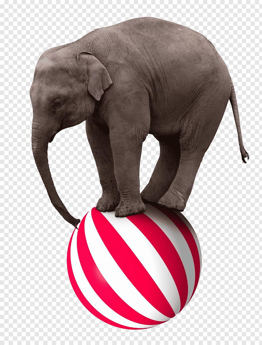 Animal Walking On Ball Circus Google Search Animals Elephant Ball