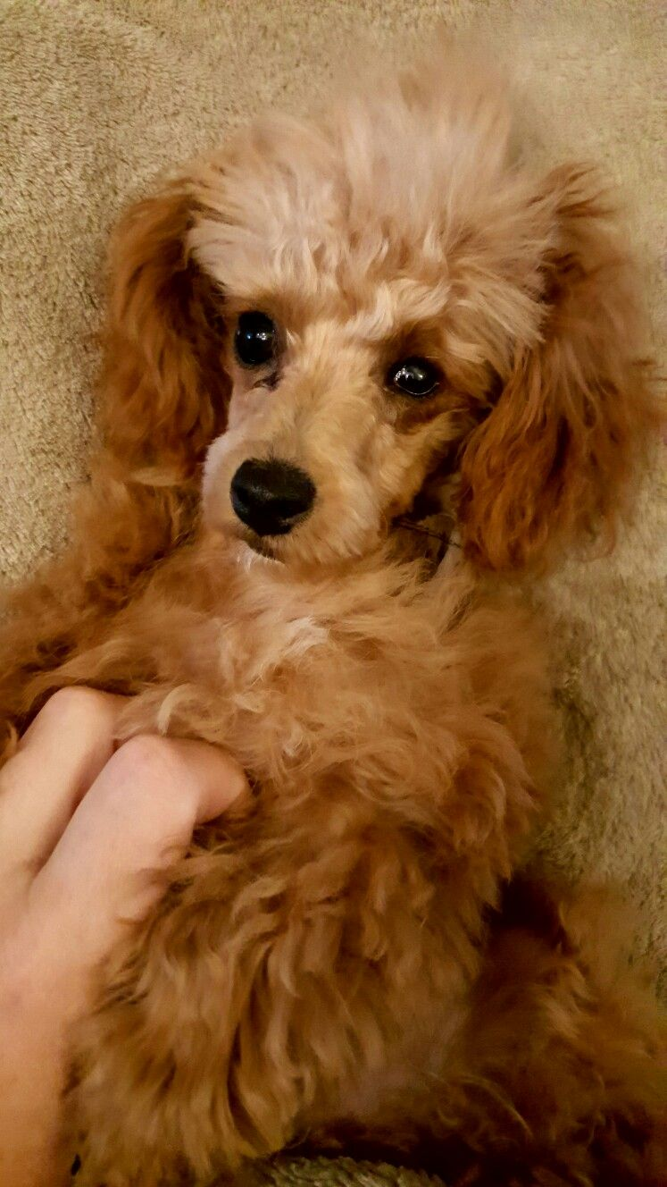 Pin By Charlie Hinshaw On Jax The Most Adorable Toy Poodle In The World French Poodles Poodle Toy Poodle