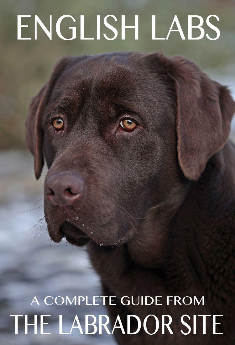 English Lab - Your Guide To The English Labrador Retriever ...